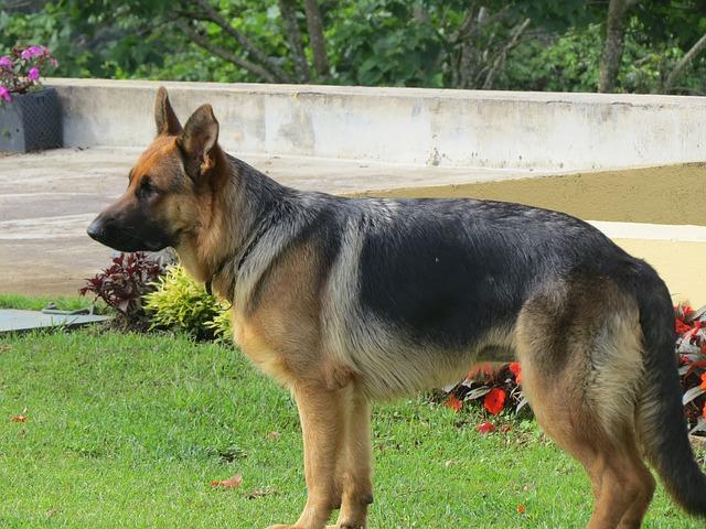 cani da guardia